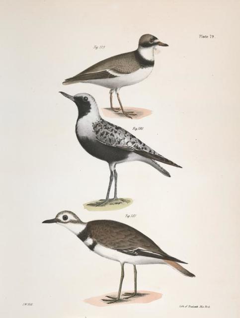 179. The American Ring Plover (Charadrius semipalmatus). 180. The Black-breasted Snipe (Charadrius helveticus). 181. The Kildeer (Charadrius vociferus).