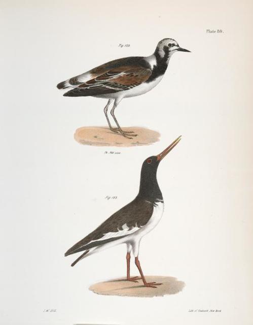 182. The Turnstone (Strepsilas  interpres). 183. The Mantled Oyster-catcher (Hæmatopus palliatus).
