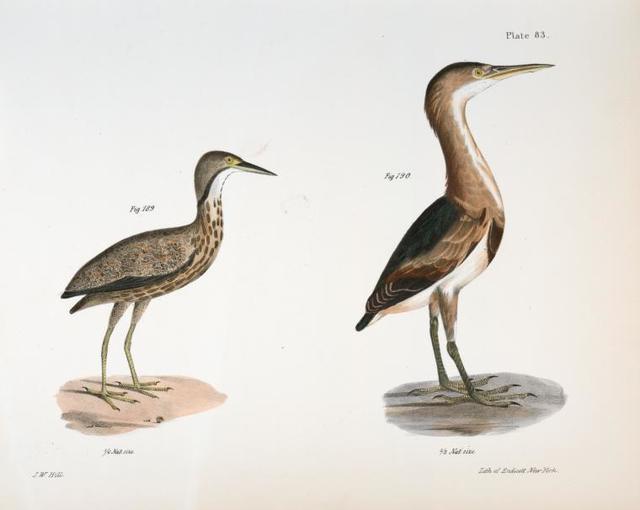 189. The American Bittern (Ardea minor). 190. The Small Bittern (Ardea exilis).