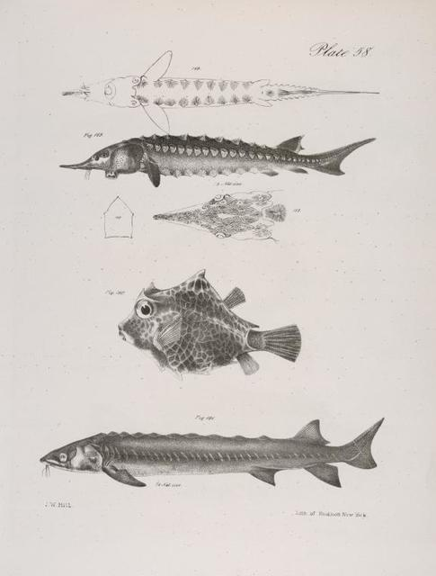 189. The Sharp-nose Sturgeon (Acipencer oxyrhincus). View of under side, and head viewed from above. 190. The Dromedary Trunk-fish (Lactophrys camelinus). 191.The Lake Sturgeon (Acipencer rubicundus).