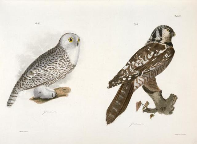 19. The Hawk Owl (Surnia funerea). 20. The Snow Owl (Surnia nyctea).