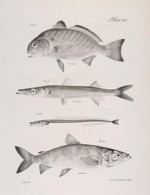 195. The La Fayette (Leiostomus obliquus). 196. The Northern Barracuta (Sphyræna borealis). 197. The Banded Sand Launce (Ammodytes vittatus). 198. The Common Shad Salmon  (Corregonus clupeiformis).
