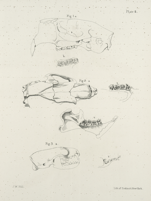 1a. Skull of the Beaver (Castor fiber), b. Vertical view of the teeth. 2a. Skull of the American Porcupine (Hystrix  hudsonius), b. Upper jaw teeth of the same, c. Lower jaw of the same. 3a. Skull of the Mink (Putorius vison), b. Teeth of the upper jaw ..