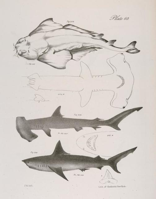 203. The American Angel-fish (Squatina dumerili). 204. The Hammer-headed Shark (Zygæna malleus). a. Underside. b. A tooth. 205. The Long-tailed Porbeagle (Lamna caudata). a. Under side of the head. b.  A tooth.