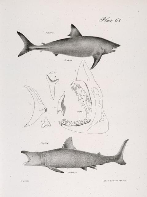 206. The Mackerel Porbeagle (Lamna punctata). 207.  1, Head of the Same; 2, Tail; 3, Front tooth of the upper jaw; 4, do of the lower jaw; 5, a lateral tooth. 208. The Basking Shark (Selachus maximus).