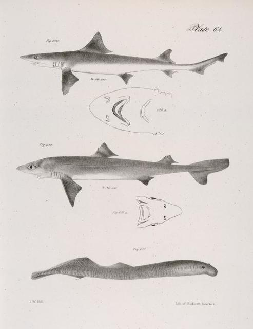 209. The American Hound-fish (Mustelus canis). 209 a. Under side of the head of the same. 210. The Spiny Dog-fish (Spinax acanthias). 210 a. Under side of the head of the same. 211. The Small Lamprey (Petromyzon appendix).