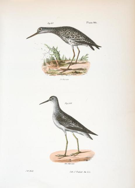211. The Varied Tatler (Titatus malenoleucus). 212. The Yellowlegs (Totanus flavipes).