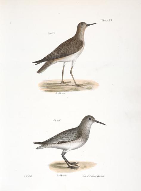 217. He Ruff (Tringa pugnax). 218. The Red-breasted Sandpiper (Tringa canutus).