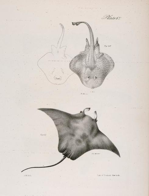 218. The Clear-nose Ray, male and female, (Raia diaphanes). 219. The Devil-fish (Cephaloptera vampirus).