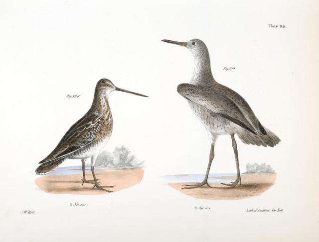 219.  The Willet (Totanus semipalmatus). 220. The American Snipe (Scolopax wilsoni).