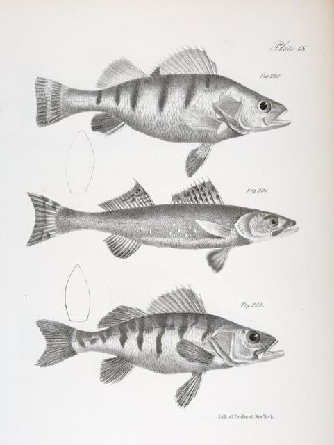 220. The Rough-headed Yellow Perch (Perca granulata). 221. The Canadian Pike-perch (Lucioperca canadensis). 222. The Sharp-nosed Yellow Perch (Perca acuta).