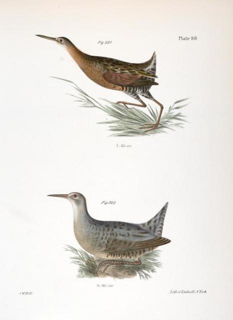 221. The Saltwater Meadow-hen (Rallus elegans). 222. The Freshwater Meadow-hen (Rallus crepitans).