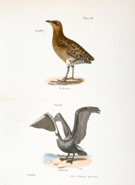 225.The New York Rail (Ortygometra noveboracensis). 226. The Brown Pelican (Pelecanus fuscus).