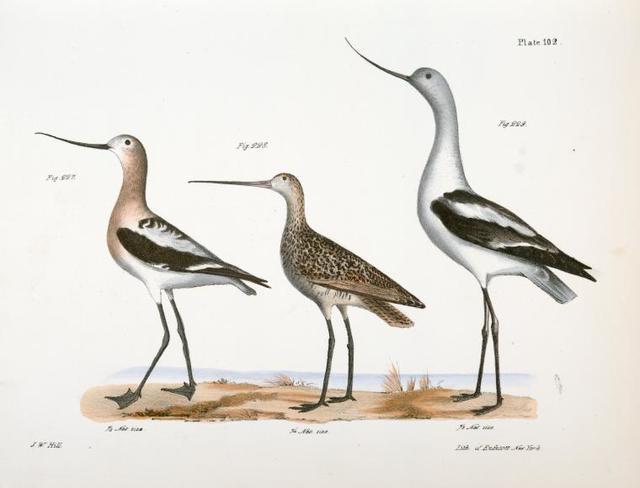 227. The American Avoset (Recurvirostra americana). 228. The Marlin (Limosa fedoa). 229. The American Avoset (Recurvirostra americana).