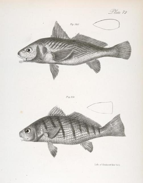 230. The Banded Corvino (Micropogon costatus). 231. The Southern King-fish (Umbrina coroides).