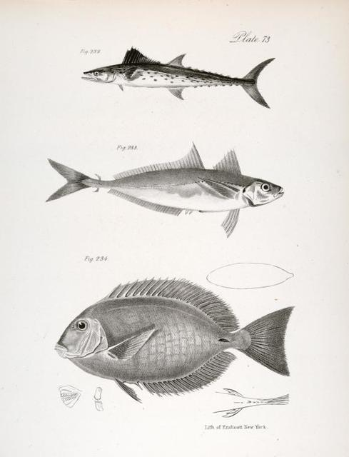 232. The Spotted Cybium (Cybium maculatum). 233. The Spotted Caranx (Caranx punctatus). 234. The Sugeon (Acanthurus phlebotomus).
