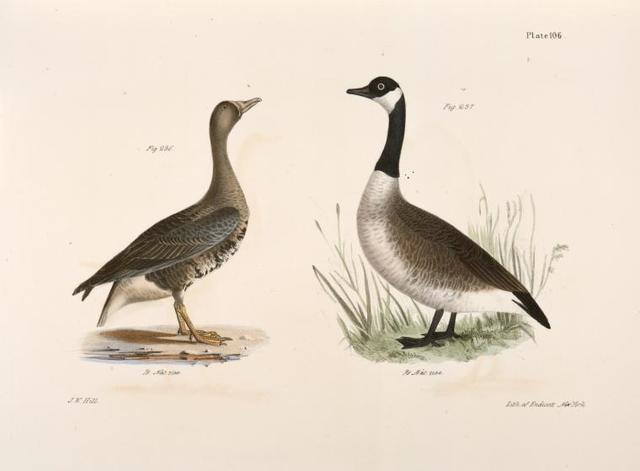 236. The White-fronted Goose (Anser albifrons). 237. The Wild Goose (Anser canadensis).