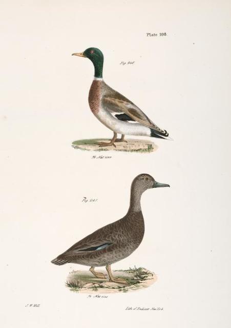 240. The Mallard (Anas boschas). 241. The Black Duck (Anas obscura).
