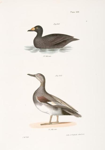 242. The Broad-billed Coot (Fuligula americana). 243. The Grey Duck (Anas strepera).