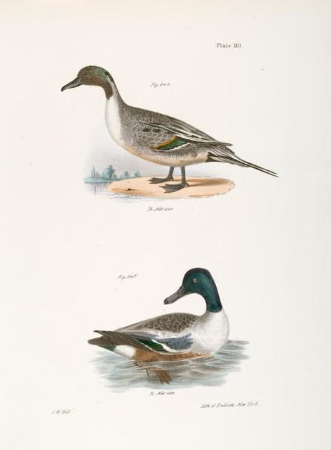 244. The Pintail Duck (Anas acuta). 245. The Shoveller or Spoonbill (Anas clypeata).