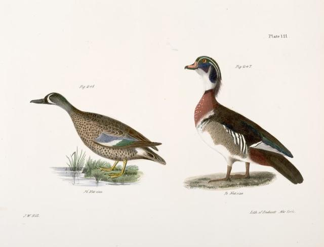 246. The Blue-winged Teal (Anas discors). 247. The Wood Duck (Anas sponsa).