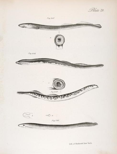 247. Bluish Sea Lamprey (Petromyzon nigricana). 248. Colored Mud Lamprey (Ammocoetes bicolor). 249. Variegated Lamprey (Petromyzon lamottenii). 250. Plain Mud Lamprey (Ammocoetes unicolor). a. Nostril. b. Under side of the mouth.