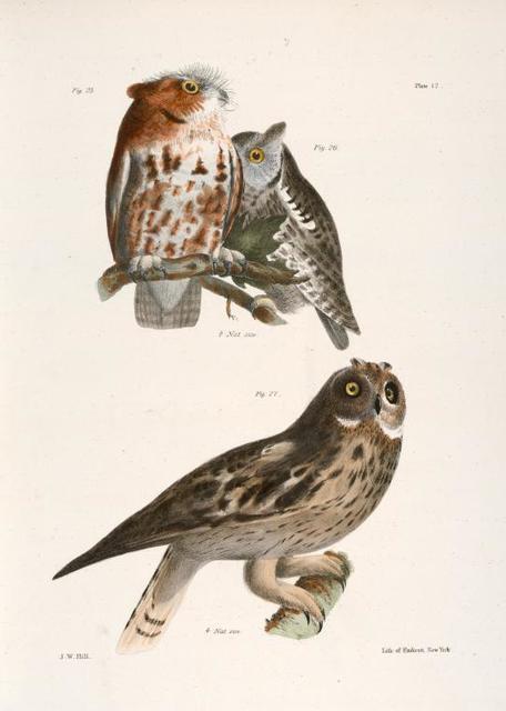 25, 26. The Little Screech Owl (Bubo asio). 27. The Short-eared Owl (Otus palustris).