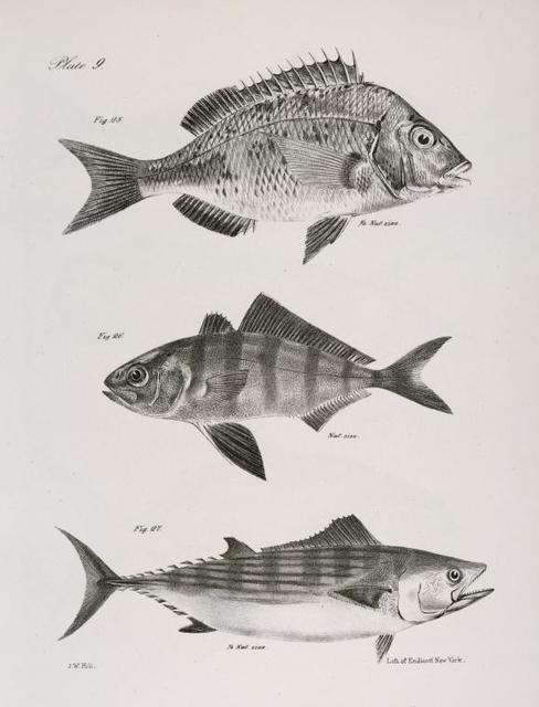 25. The Big Porgee (Pagrus argyrops). 26. The Banded Seriola (Serola zonata). 27. The Striped Bonito (Pelamys sarda).