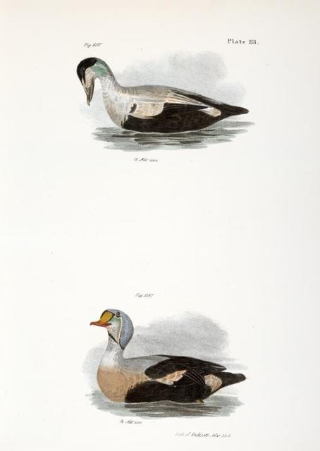 250. The Eider Duck (Fuligula mollissima). 251. The King Duck (Fuligula spectabilis).