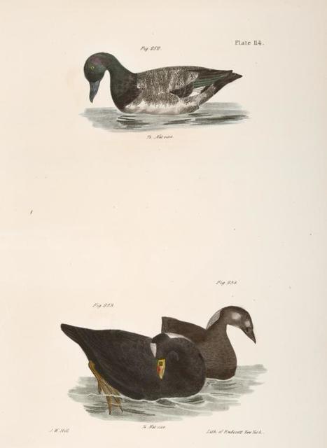 252. The Broadbill (Fuligula marila). 253. The Surf Duck or Coot (Fuligula perspicillata). 254. Ditto, immature.