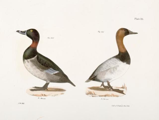 255. The Bastard Broadbill (Fuligula rufitorques). 256. The Canvass-back (Fuligula varisneria).