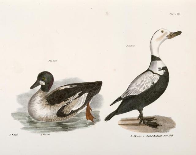 257. The Whistler (Fuligula clangula). 258. The Pied Duck (Fuligula labradora).