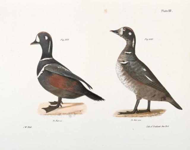259. The Harlequin Duck (Fuligula histrionica). 260. Ditto, immature.