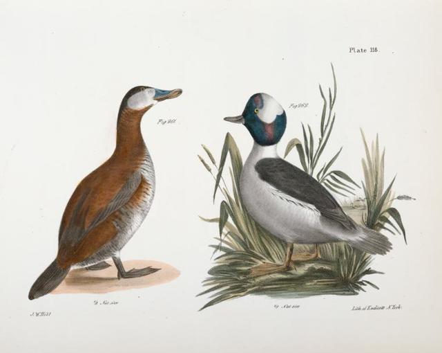 261. The Ruddy Duck (Fuligula rubida). 262. The Buffle-headed Duck (Fuligula albeola).