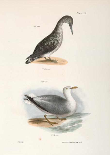 269. The American Gannet, young (Sula americana). 270. The Winter Gull (Larus argentatus).