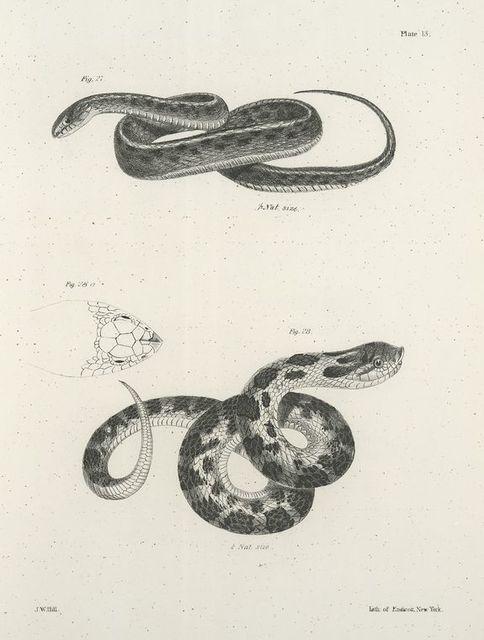 27. The Striped Snake, variety, (Tropidonotus tænia). 28. The Hog-nosed Snake (Heterodon platyrhinos).