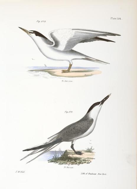 273. The Silvery Tern (Sterna argentea). 274. The Sandwich Tern (Sterna cantiaca).