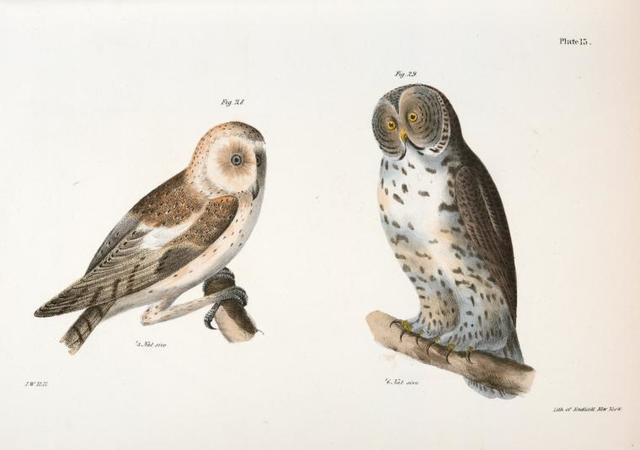 28. The American Barn Owl (Strix pratincola). 29. The Great Gray Owl (Syrnium cinereum).