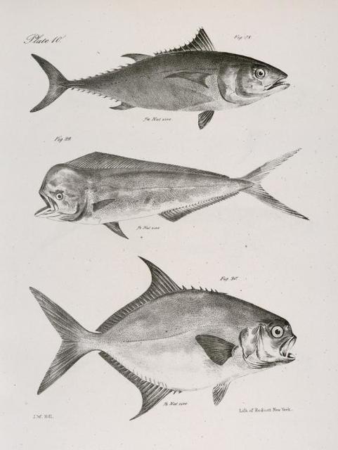 28. The Common Tunny (Thynnis vulgaris). 29. The Bottle-headed Dolphin (Coryphæna globiceps). 30. The Carolina Lichia (Lichia carolina).