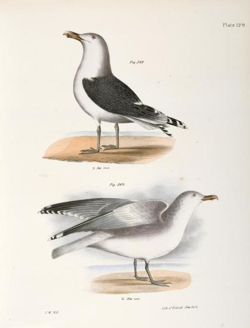 283. The Great Black-backed Gull (Larus marinus). 284. The Winter Gull (Larus argentatus).