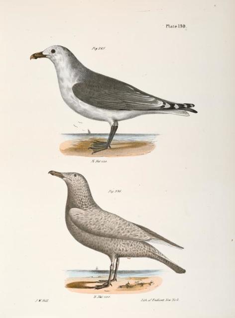 285. The Common American Gull  (Larus zonorhyncus). 286. The Winter Gull, var. (Larus argentatus).