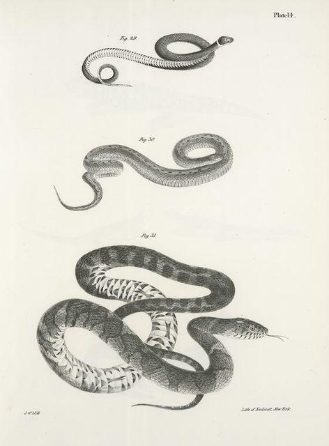 29. The Ring Snake (Coluber punctatus). 30. The Small Brown Snake (Tropidonotus dekayi). 31. The Water Snake (Tropidonotus sipedon).