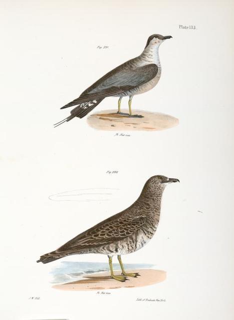 291. The Arctic Hawk Gull (Lestris buffoni). 292. The Pomarine Hawk Gull (Lestris pomarinus).