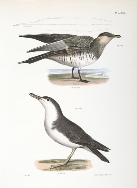 293. Richardson's Hawk Gull (Lestris richardsoni). 294. The Little Shearwater (Puffinus cinereus).