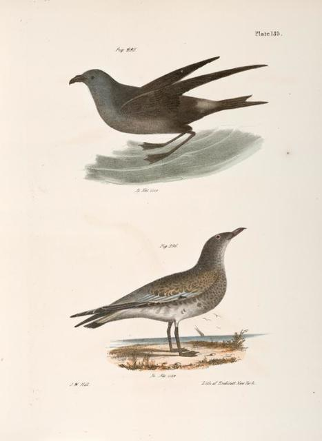295. The Fork-tailed Petrel (Thalassidroma leachi). 296. The Laughing Gull (Larus atricilla).