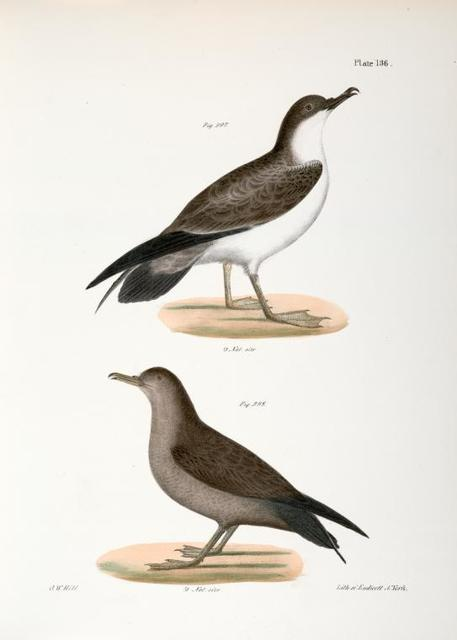 297. The Large Shearwater, young (Puffinus obscurus). 298. Ditto, adult.