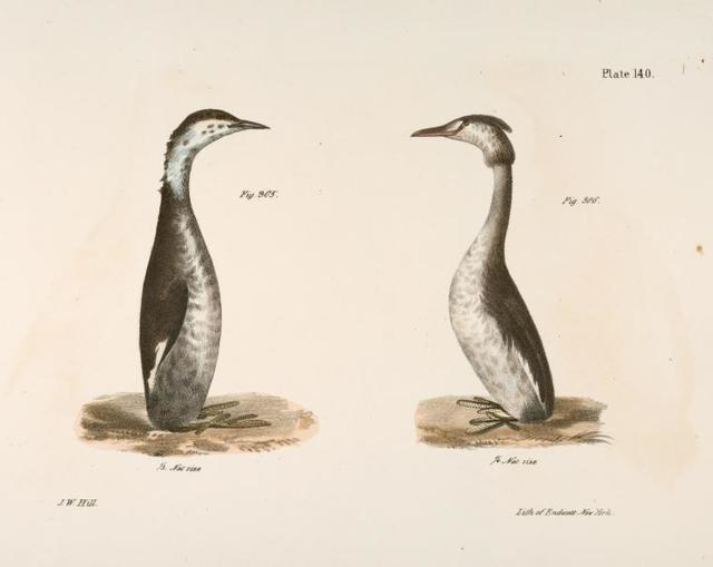 305. The Horned Grebe (Podiceps cornutus). 306. The Crested Grebe (Podiceps cristatus).