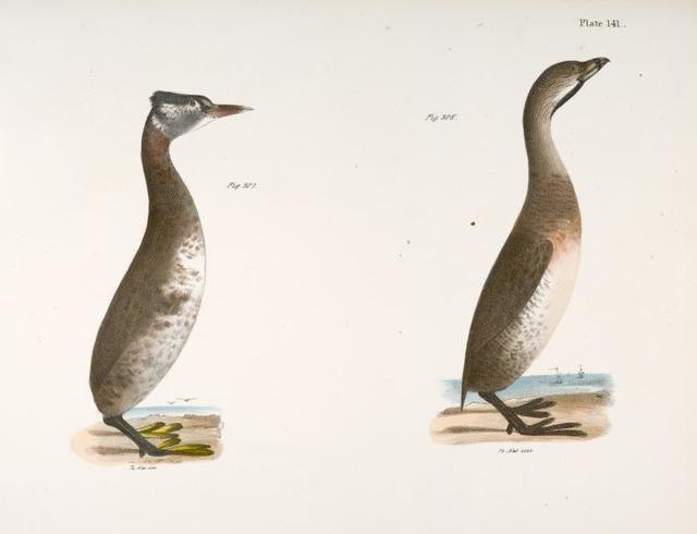 307. The Red-necked Grebe (Podiceps rubricollis). 308. The Dipper (Hydroka carolinensis).