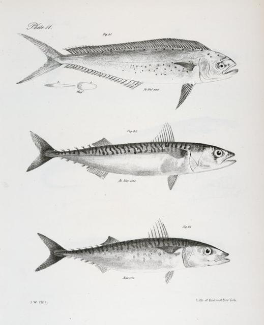 31. The Spotted Lampugus (L. punctulatus). 32. The Fall Mackerel (Scomber grex). 33. The Spanish Mackerel (S. colias).