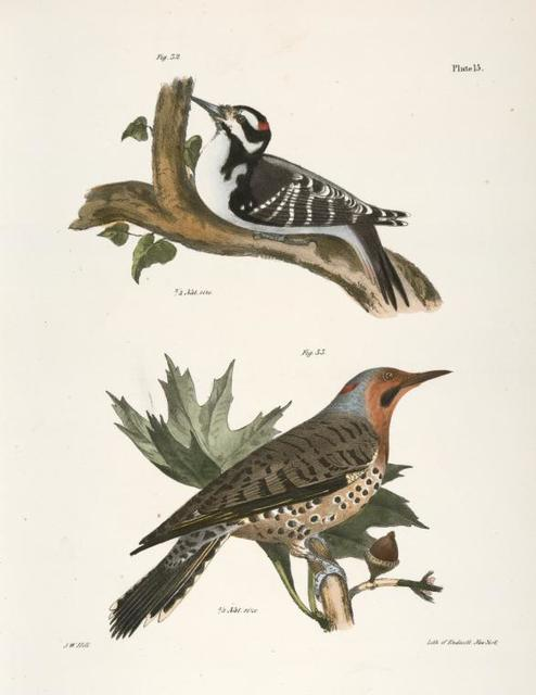 32. The Hairy Woodpecker (Picus villosus). 33. The Golden-winged Woodpecker (Picus auratus).